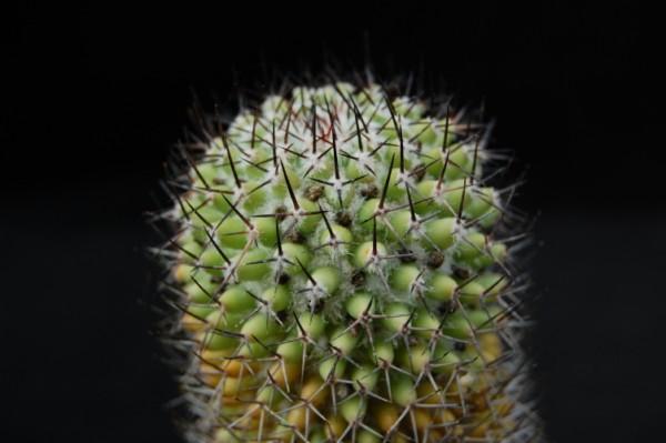 Mammillaria polythele SB 364