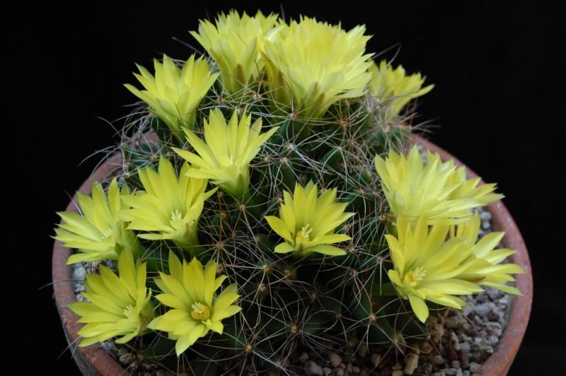 Mammillaria longimamma SB 88