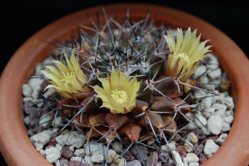 Mammillaria freudenbergeri