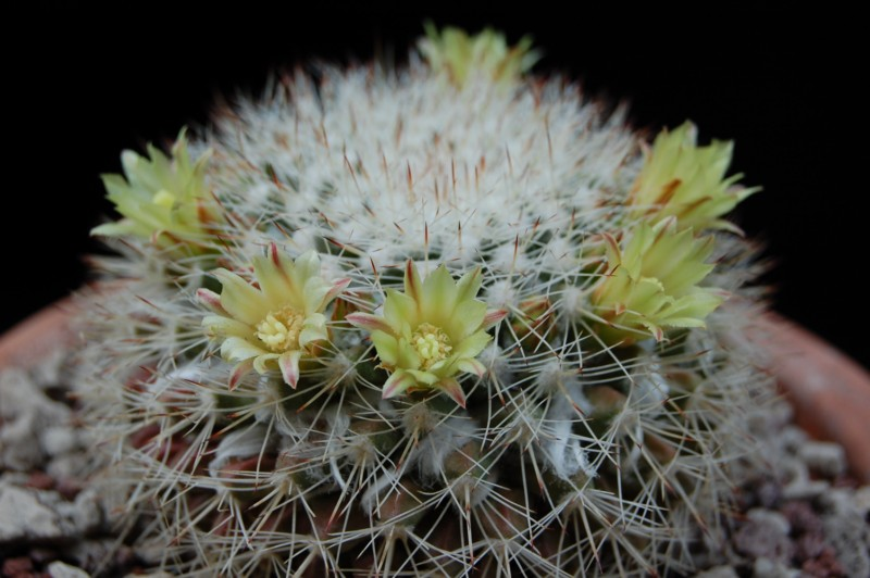 Mammillaria evermanniana