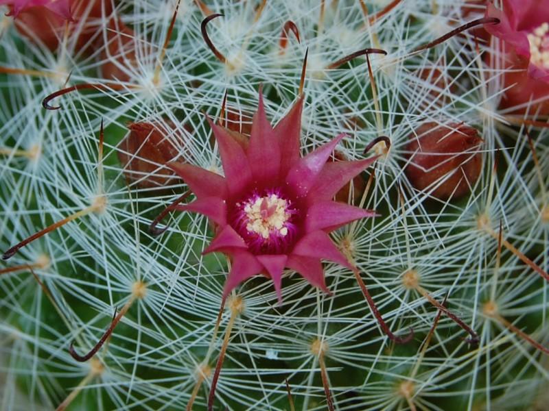 Mammillaria erythrosperma SB 825
