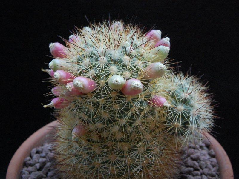 Mammillaria densispina ROG 506