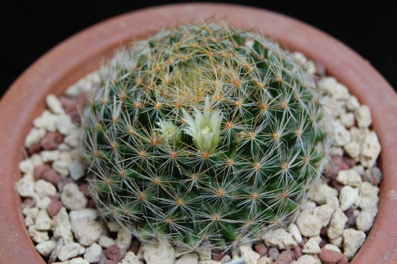 Mammillaria pseudoschiedeana
