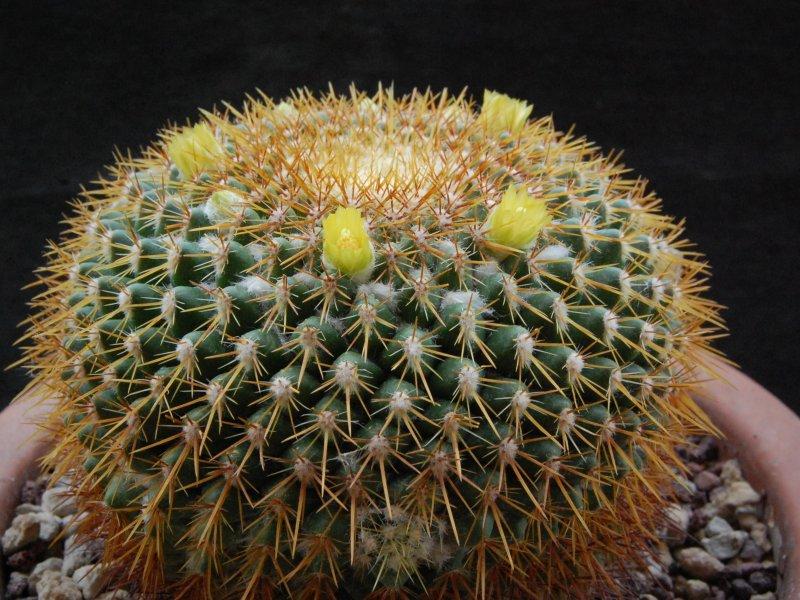 Mammillaria canelensis ROG 648