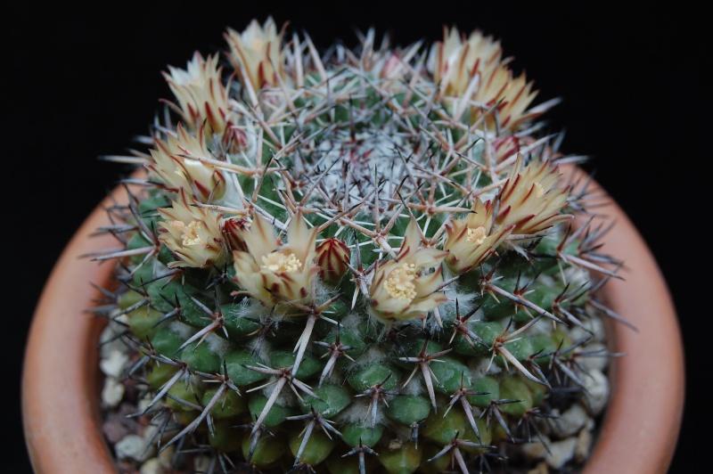 Mammillaria hastifera