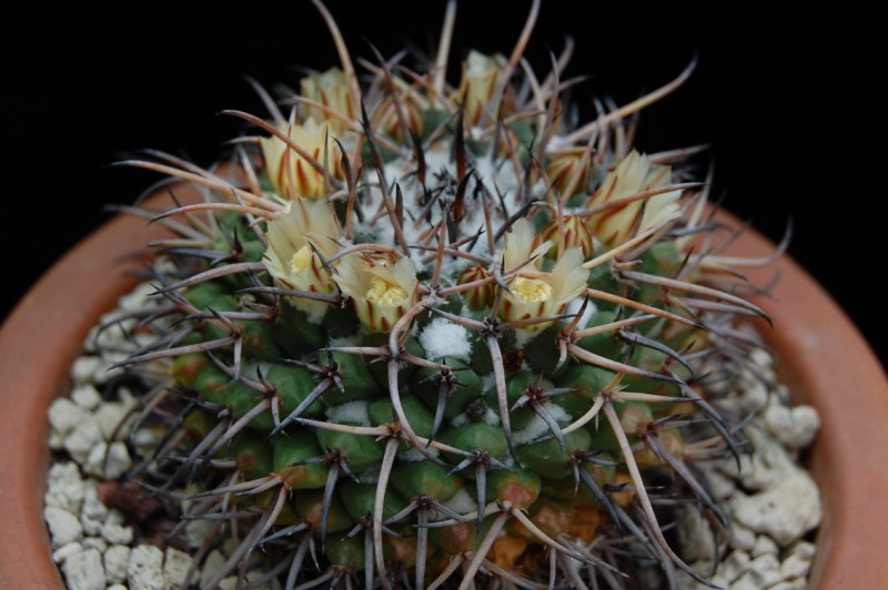 Mammillaria saint-pieana