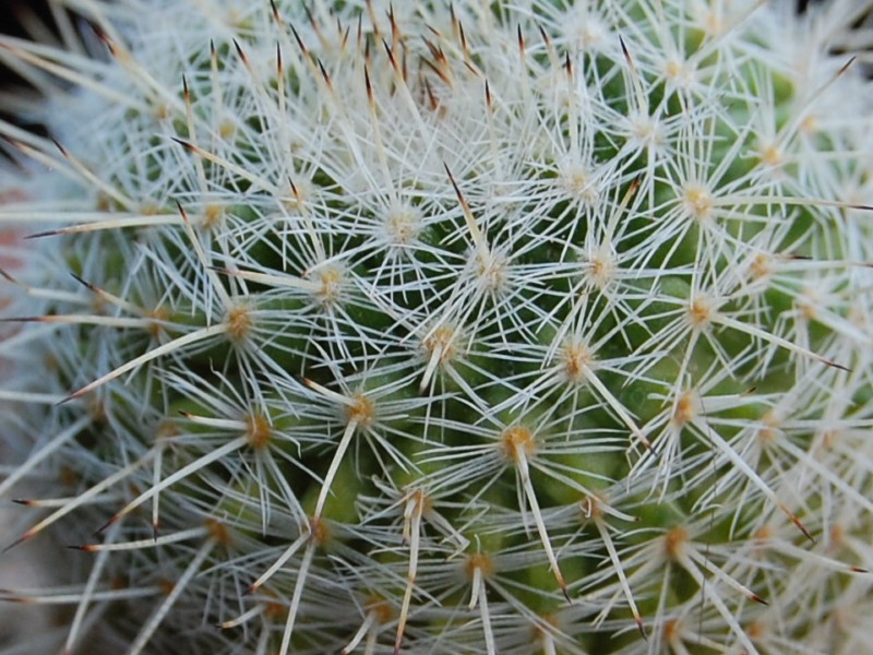 Mammillaria morganiana ML 487