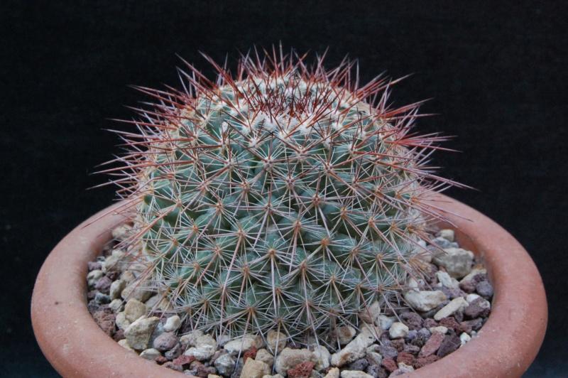 Mammillaria hertrichiana ROG 696