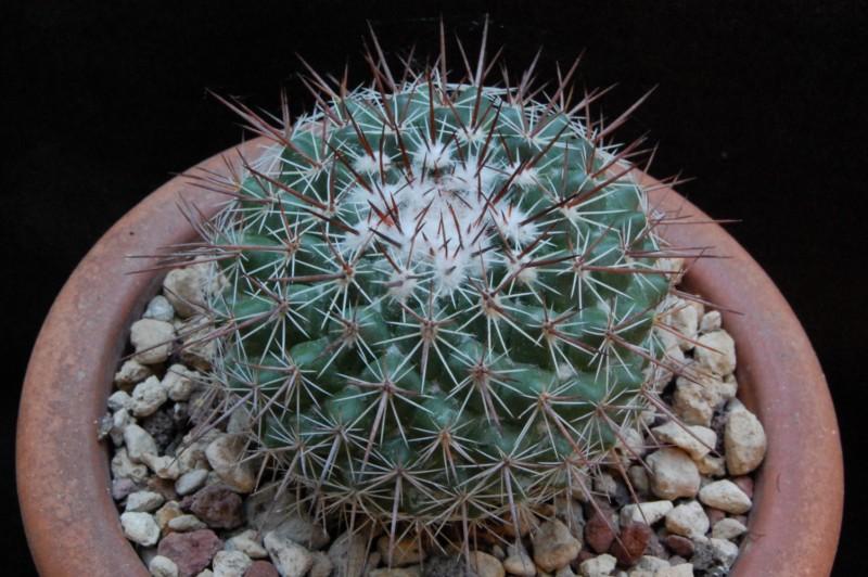 Mammillaria maycobensis ROG 222