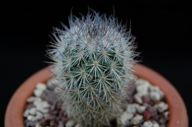 Mammillaria pottsii