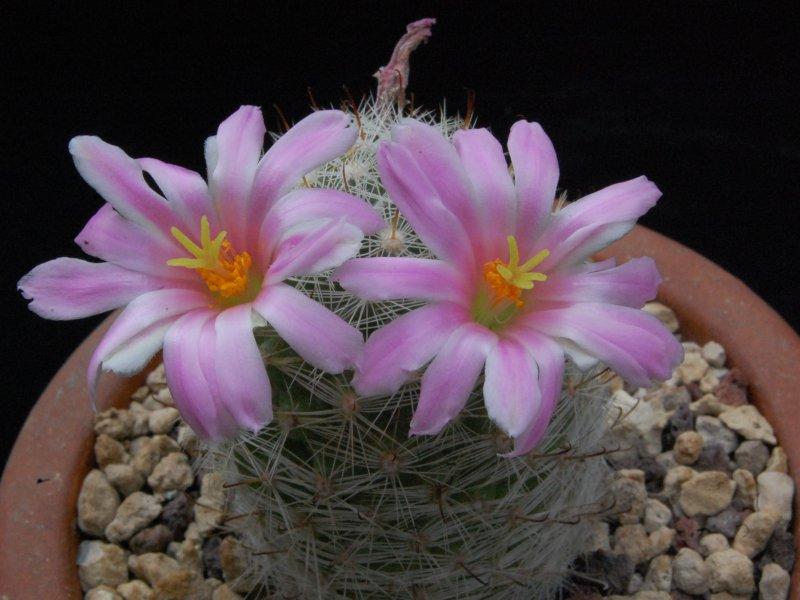 Mammillaria boolii ML 733