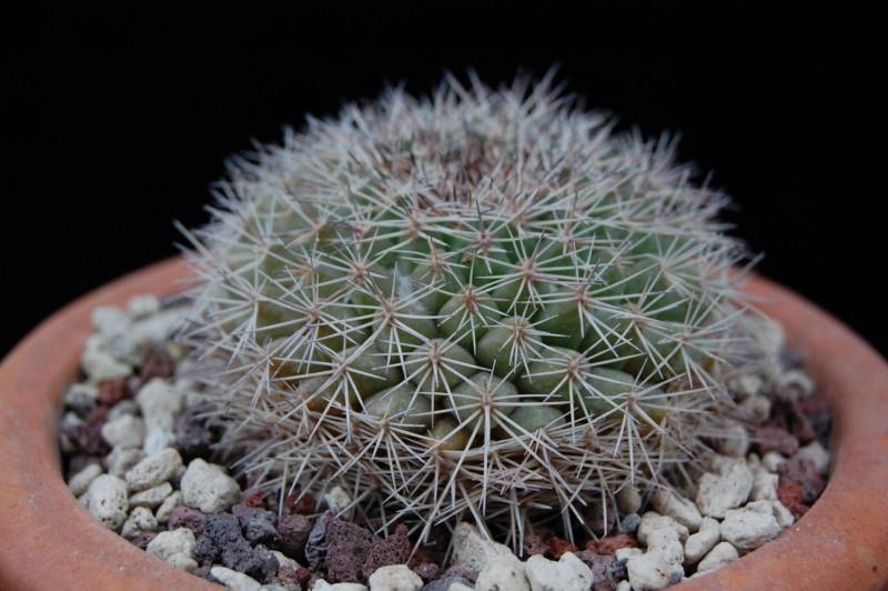 Mammillaria miegiana LAU 612