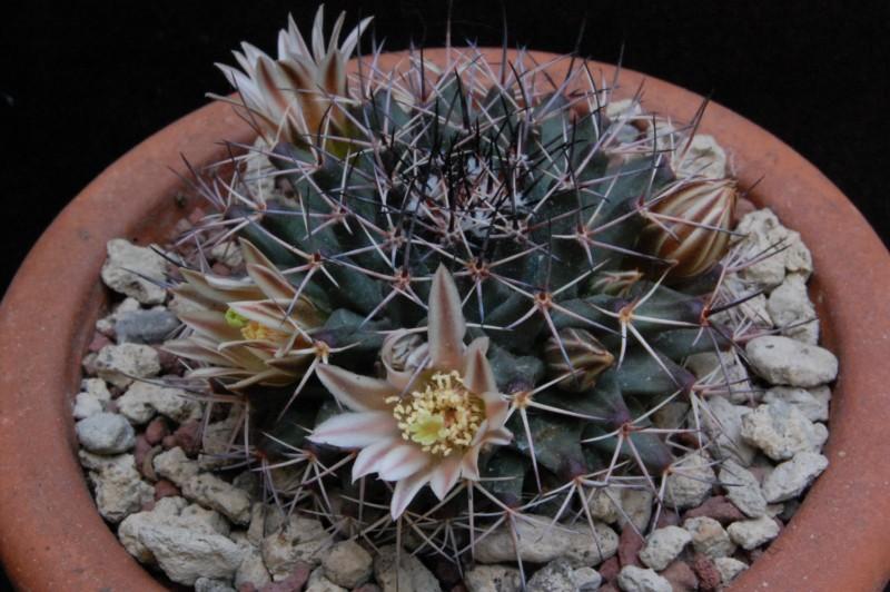 Mammillaria parrasensis