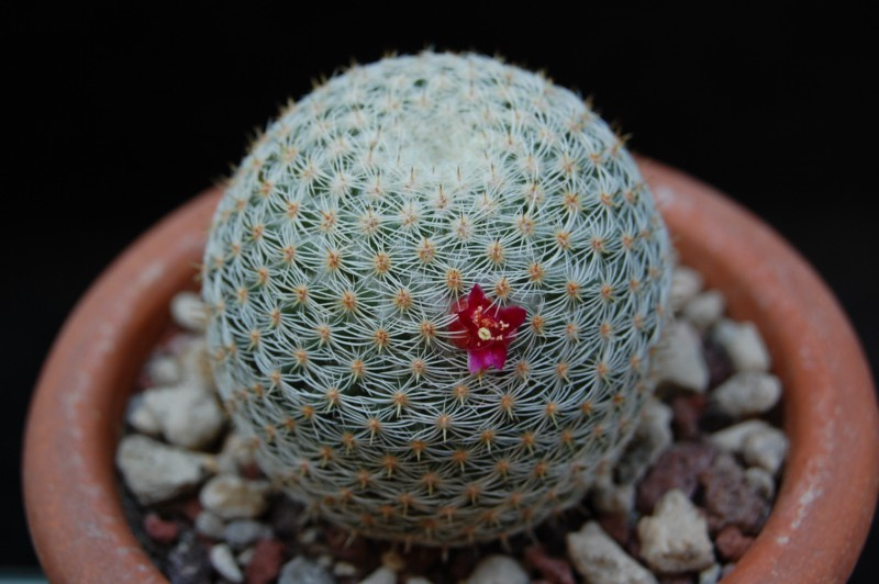 Mammillaria albilanata REP 1262