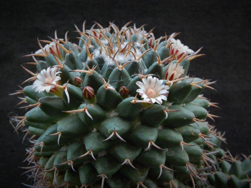 Mammillaria magnimamma BZ 73