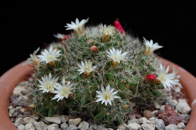 Mammillaria moeller-valdeziana