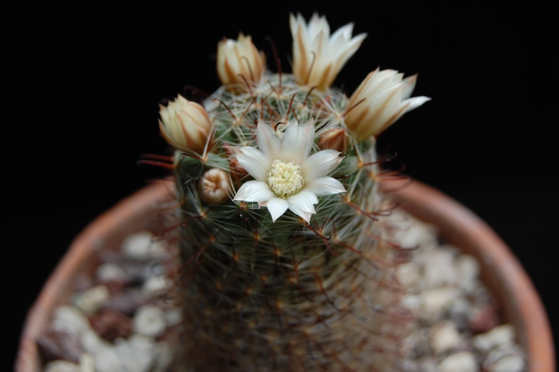 Mammillaria trichacantha SB 21