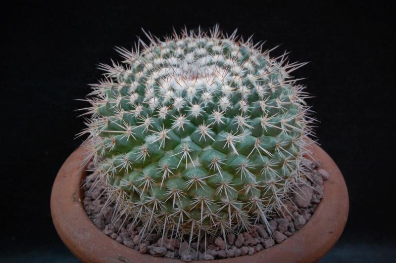 Mammillaria hertrichiana LAU 619