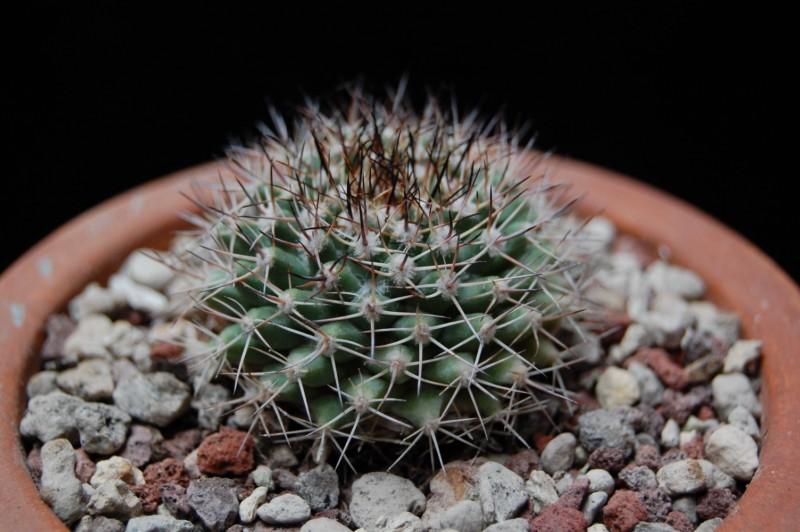 Mammillaria petrophila ssp. baxteriana SB 1255