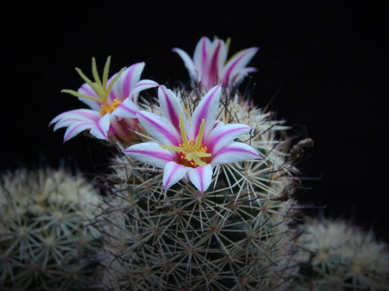 Mammillaria blossfeldiana WM 2361