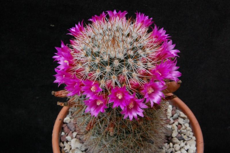 Mammillaria virginis FO 63