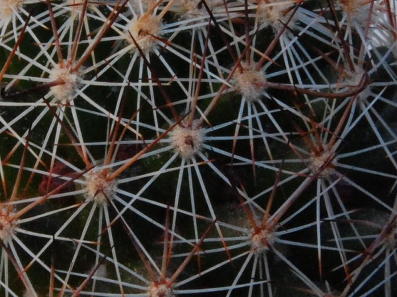 Mammillaria alamensis WM 8360