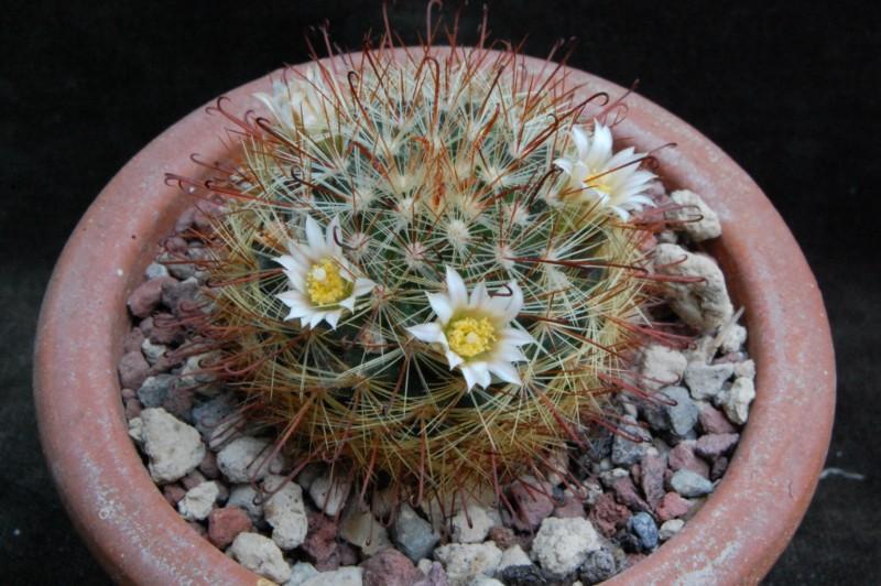 Mammillaria jaliscana ssp. zacatecasensis SB 342