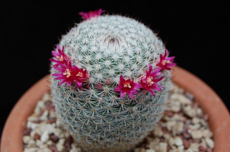 Mammillaria aff. monticola REP 843