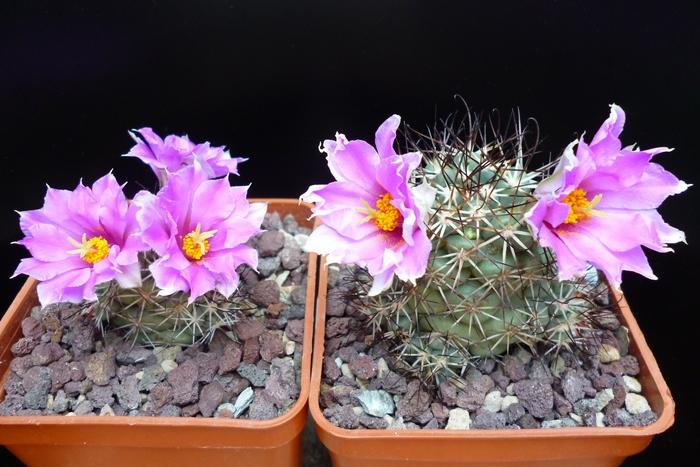 Mammillaria schumannii SB 1260