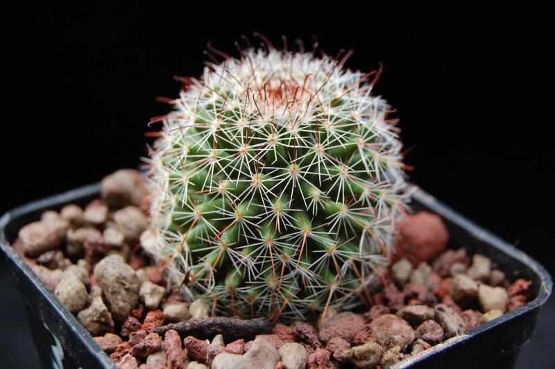 Mammillaria isotensis
