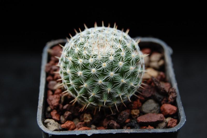 Mammillaria perbella REP 1130