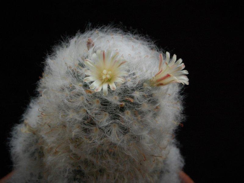 Mammillaria bocasana v. multilanata