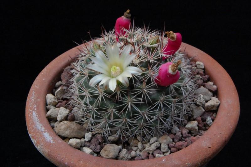 Mammillaria johnstonii SB 432