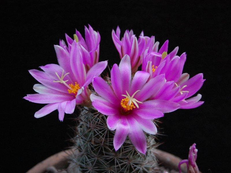 Mammillaria mazatlanensis REP 675