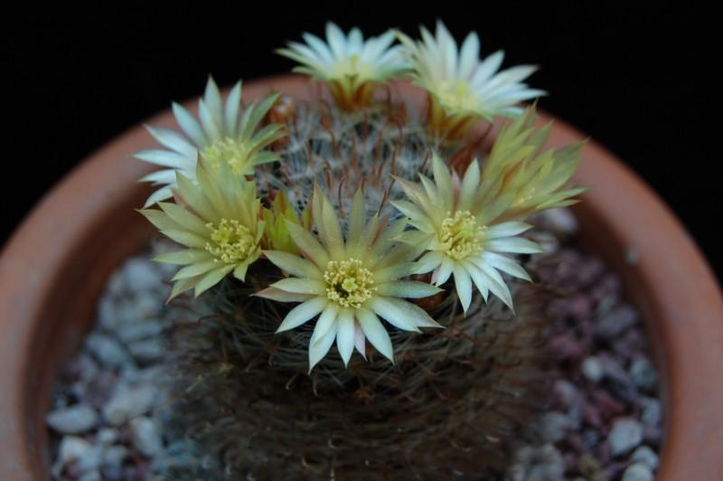 Mammillaria nana Z 88
