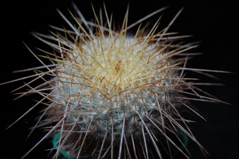 Mammillaria muehlenpfordtii CS 35 bis 99