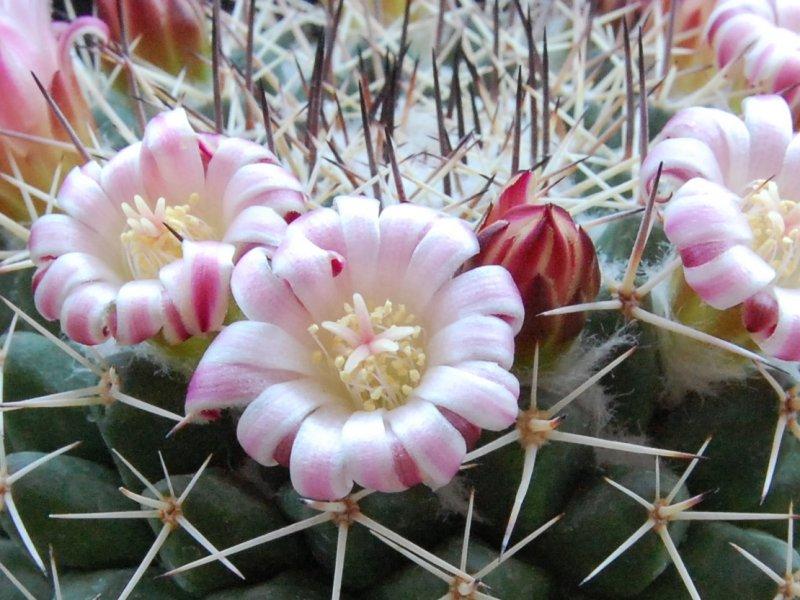 Mammillaria crassa REP 980
