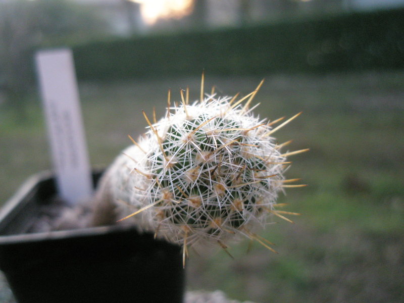 Thelocactus hastifer