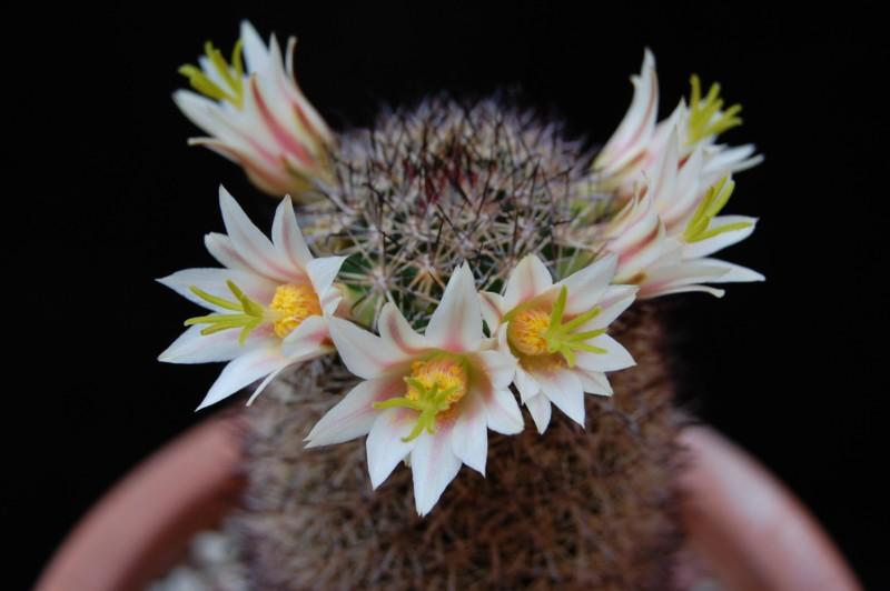 Mammillaria shurliana WM 5620