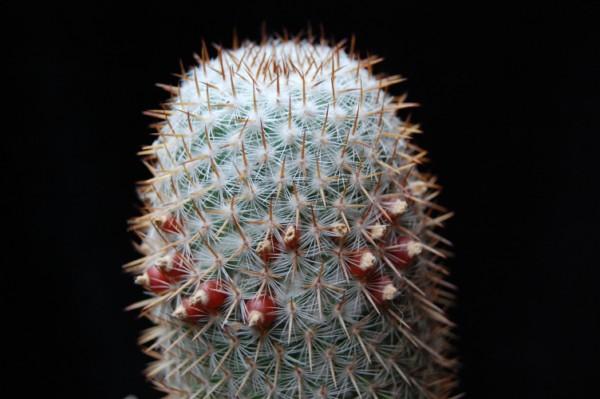 Mammillaria graessneriana