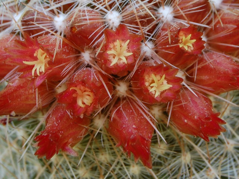 Mammillaria guerreronis