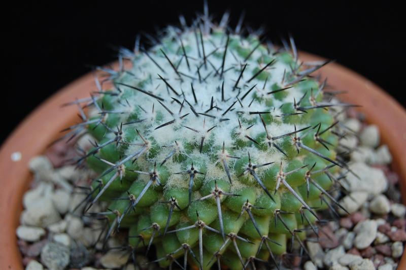 Mammillaria orcuttii