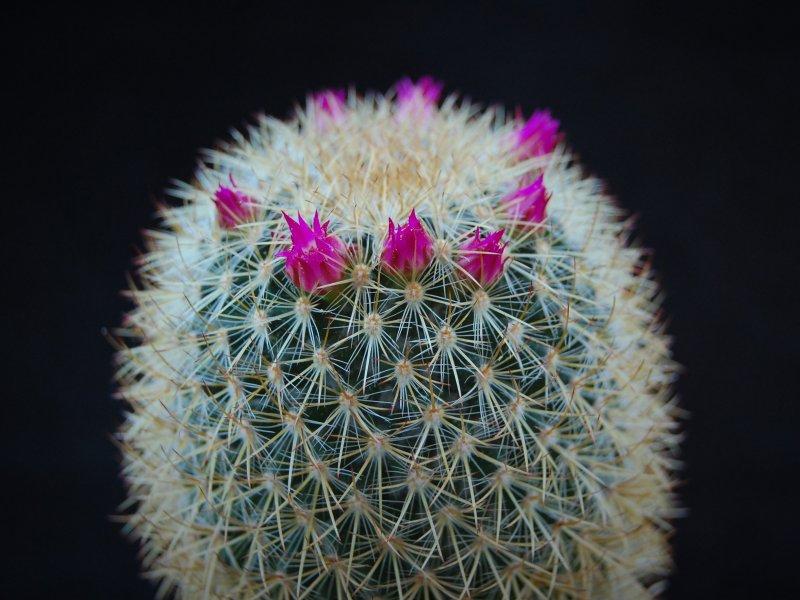 Mammillaria verticealba v. zacatecasensis REP 973