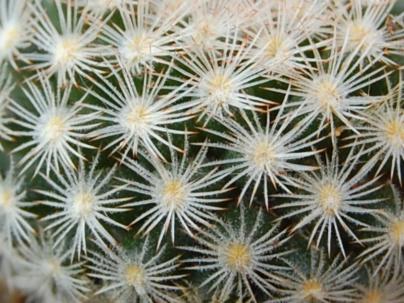 Mammillaria neobertrandiana