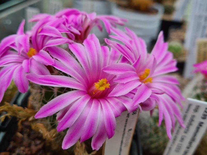 Mammillaria napina MG 805.8