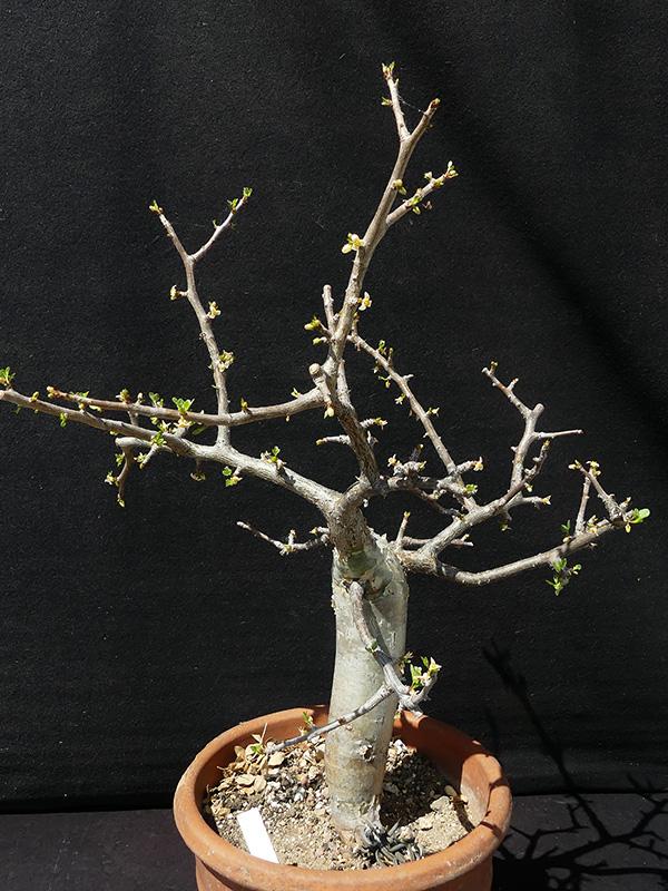 Bursera fagaroides v. elongata