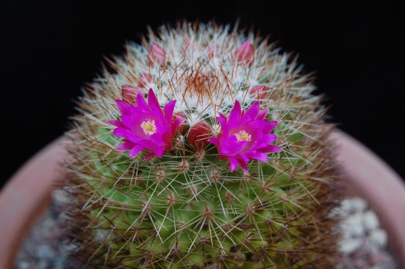 Mammillaria rosamonte