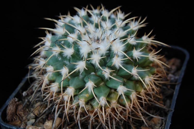Mammillaria krameri