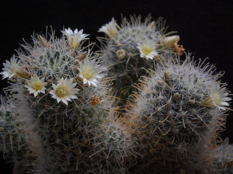 Mammillaria puberula