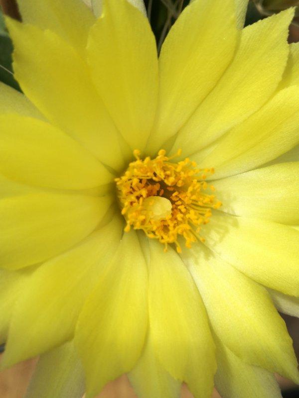 Mammillaria paulii